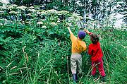 Alaska. Kenai Peninsula. Children are amazed by the large flowers of Cow Parsnip (Heracleum lanatum). MR.