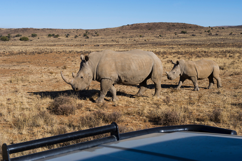 White Rhinoceros (Ceratotherium simum)<br /> Great Karoo<br /> Private Reserve<br /> SOUTH AFRICA<br /> Endangered species