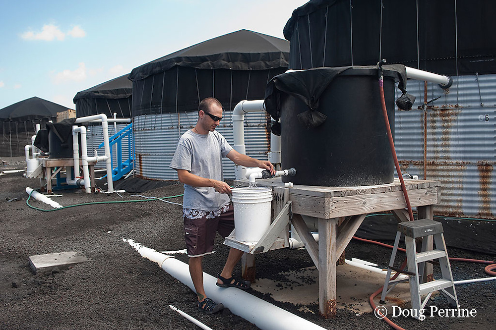 Kona Blue Water Farms hatchery technician Shane Sevey collects fish eggs from a broodstock tank at aquaculture facility at NELHA where almaco jack or Kona kampachi fingerlings are produced for stocking offshore net cages, Kona, Hawaii