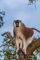 Patas monkey, Murchison Falls National Park, Uganda.