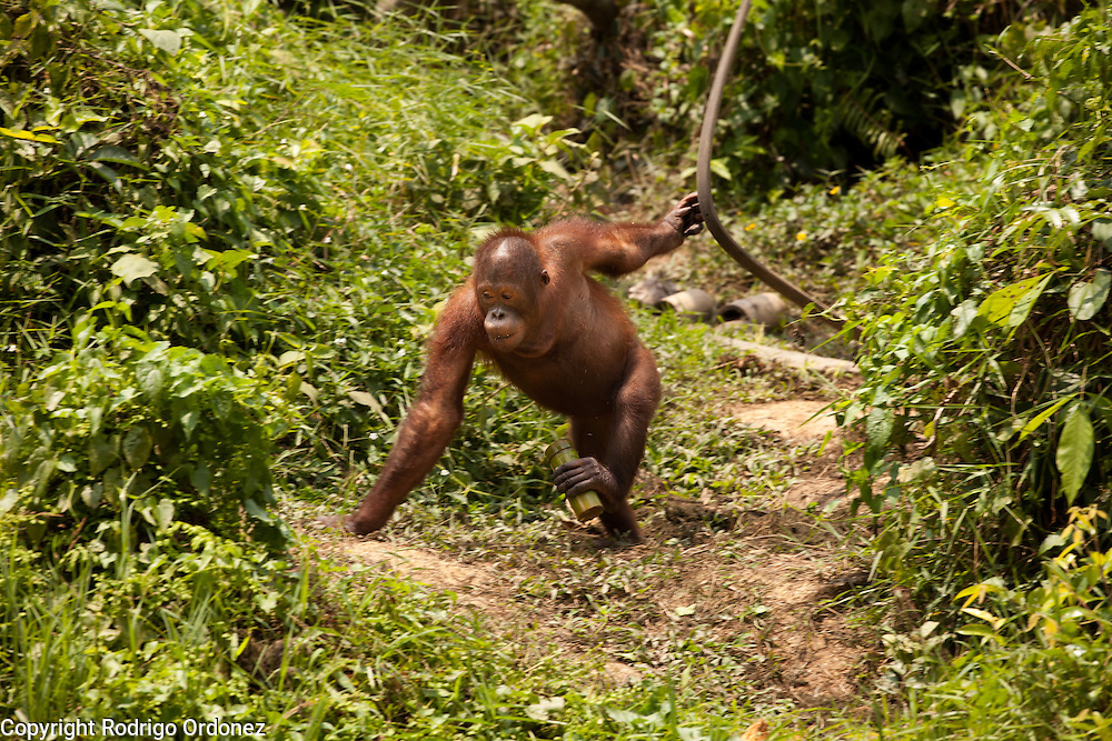 An orangutan walks around at the sanctuary run by the Borneo Orangutan Survival Foundation in the Samboja Lestari conservation area in Kutai Kartanegara district, East Kalimantan, Indonesia, on March 13, 2016. This sanctuary offers a natural environment to orangutans that cannot be returned to the wild because of their severe disabilities or because they were raised in captivity and can no longer learn forest skills. Bornean Orangutans (Pongo pygmaeus) are classified as Endangered by IUCN because of the loss of rainforests to agriculture or fires, poaching and the pet trade. <br /> (Photo: Rodrigo Ordonez)