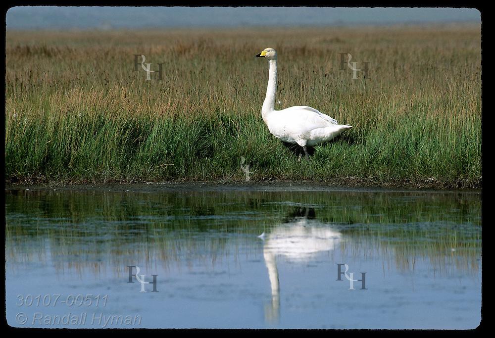 Whooper swan (Cygnus cygnus) stands at water's edge in marshy meadow; Hofn, Iceland