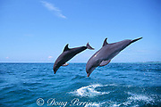 Atlantic bottlenose dolphins, Tursiops truncatus, leaping out of water, Bahamas ( Western Atlantic Ocean )