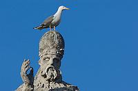 Herring gull; (Larus argentatus) in Vatican's garden, Rome, Italy