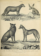 Jackal, Grey Fox [gray fox (Urocyon cinereoargenteus)] , Arctic Fox (Vulpes lagopus) and the Zerda [Fennec fox (Vulpes zerda)] Copperplate engraving From the Encyclopaedia Londinensis or, Universal dictionary of arts, sciences, and literature; Volume III;  Edited by Wilkes, John. Published in London in 1810