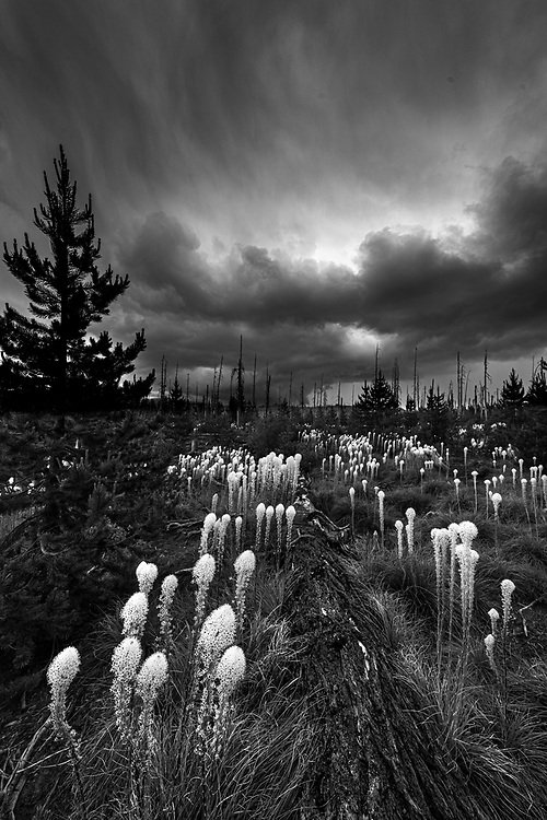 Bear grass blooming on a fire-scarred hillside is threatened by ominous summer thunderstorm clouds in the Cascade mountains of Oregon.