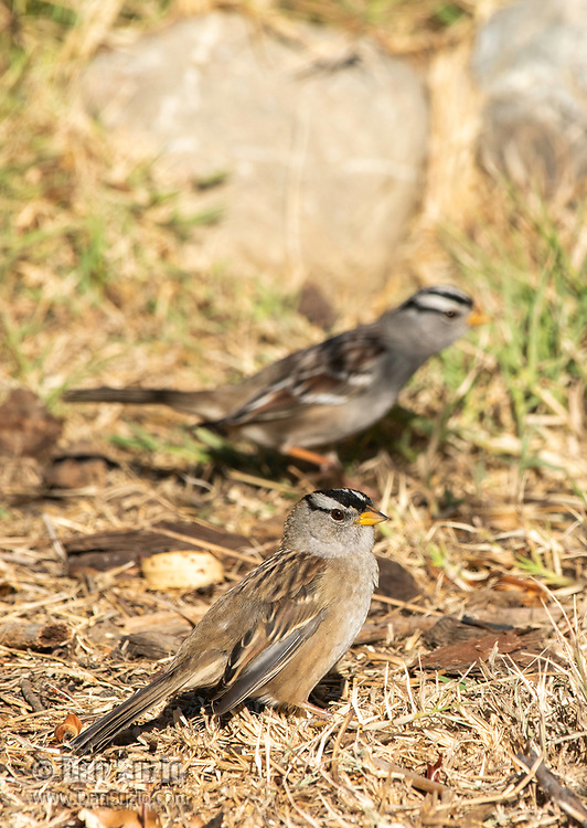 White-crowned Sparrows, Zonotrichia leucophrys, in Sacramento National Wildlife Refuge, California