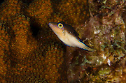 Sharpnose Puffer (Canthigaster rostrata)<br /> BONAIRE, Netherlands Antilles, Caribbean<br /> HABITAT & DISTRIBUTION: Reefs and seagrass beds<br /> Florida, Bahamas, Caribbean, Gulf of Mexico, Bermuda and East Atlantic.