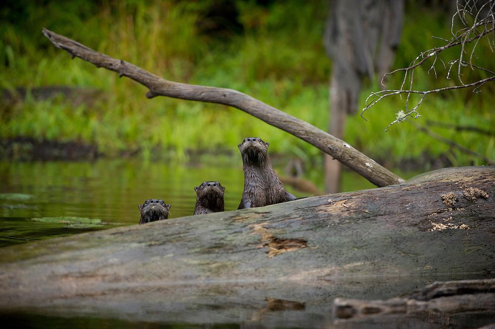 A family of river otters on the Tahquamenon River near Newberry Michigan.