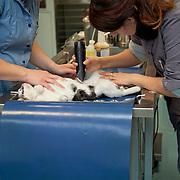 Cat (Felis Catus)  llying on table under anaesthesia, veterinarians shaving hairfor preparation sterilization. France