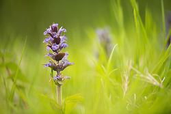 Bugle Ajuga reptans, plant flowering in woodland ride, Northamptonshire, May