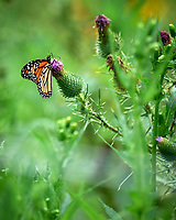 Monarch Butterfly on a Thistle Flower. Image taken with a Leica SL2 camera and 90-280 mm lens