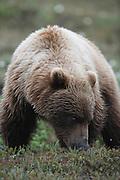 Grizzly Bear (interior Alaska), Ursus arctos; closeup, summer, feeding, alpine tundra, hibernates in winter, Denali National Park, Alaska, ©Craig Brandt, all rights reserved; brandt@mtaonline.net