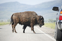 Young Bison crossing road in Grand Teton National Park.