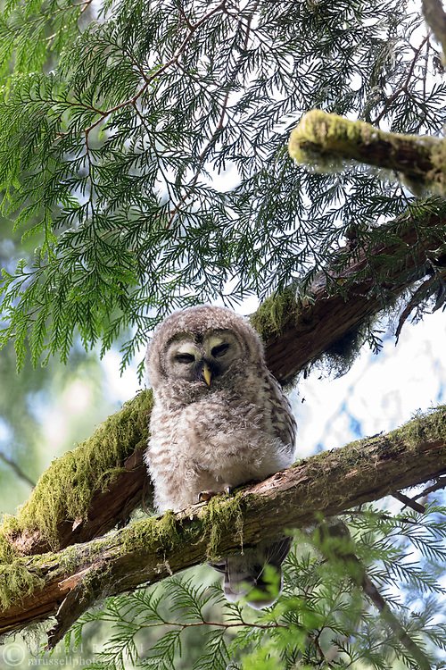 A Barred Owl (Strix varia) fledgling peers down from a Cedar tree branch.   Photographed at Campbell Valley Park in Langley, British Columbia, Canada.
