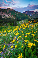 Late Summer wildflowers bloom in Albion Basin of Little Cottonwood Canyon near Salt Lake City, Utah on an early morning.