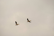 American white pelican (Pelecanus erythrorhynchos) in flight while migrating. Fitchburg, Wisconsin, USA.