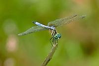 A beautiful male blue dasher posing on a stick in Tallahassee, Florida. Males are bright blue with green eyes, and the females are a drab brown with dull yellow stripes.