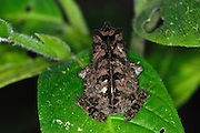 Ecuador, May 5 2010: Top view of a frog sits on a leaf. Copyright 2010 Peter Horrell