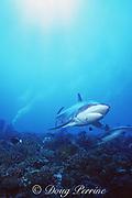 underwater photographer and silvertip shark, Carcharhinus albimarginatus, Rangiroa Atoll, Tuamotus, French Polynesia ( South Pacific Ocean )