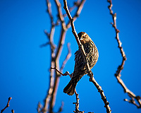 Female Red-winged Blackbird. Image taken with a Nikon D300 camera and 80-400 mm VR lens (ISO 560, 400 mm, f/8, 1/250 sec).