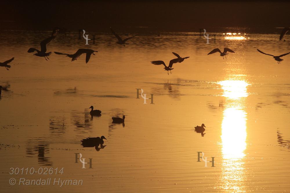 Summer sunset silhouettes seagulls and ducks on Seltjarnarnes coast; Reykjavik, Iceland.