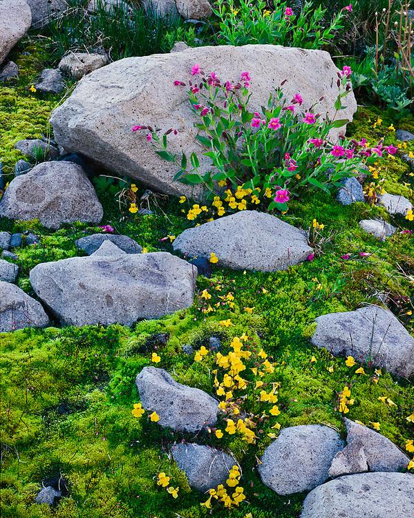 Pink and yellow monkeyflowers, alpine meadow, Summerland, August, Mount Rainier National Park, Washington, USA