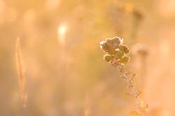 Backlit grasses, Trinity River Audubon Center, Dallas, Texas, USA.