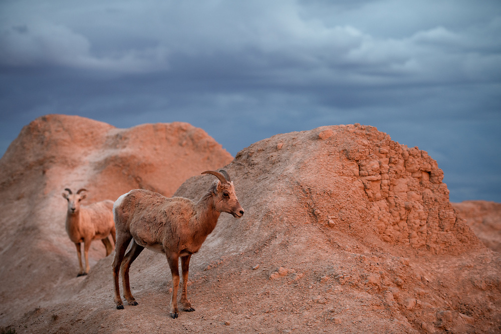 Bighorn Sheep in evening light