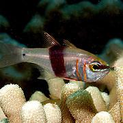 Girdled Cardinalfish shelter in branching corals. Picture taken Palau.