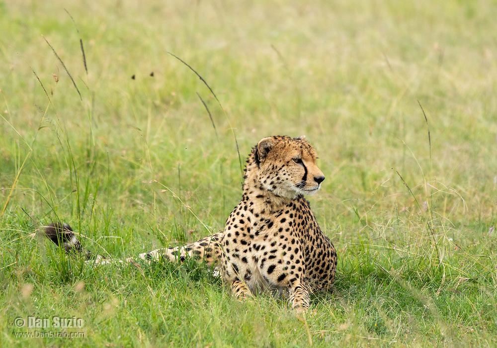 A Cheetah, Acinonyx jubatus jubatus, rests in the shade of a tree in Maasai Mara National Reserve, Kenya