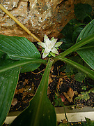 Flowering Turmeric (Curcuma longa)  The rhizome (root) of this plant is used to make a culinary spice.