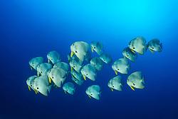 Platax teira, Schule von Langflossen Fledermausfischen, school of Longfin Batfish, Malediven, Indischer Ozean, Maldives, Indian Ocean