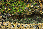 Anemones in water pool with seaweed and barnacles<br />