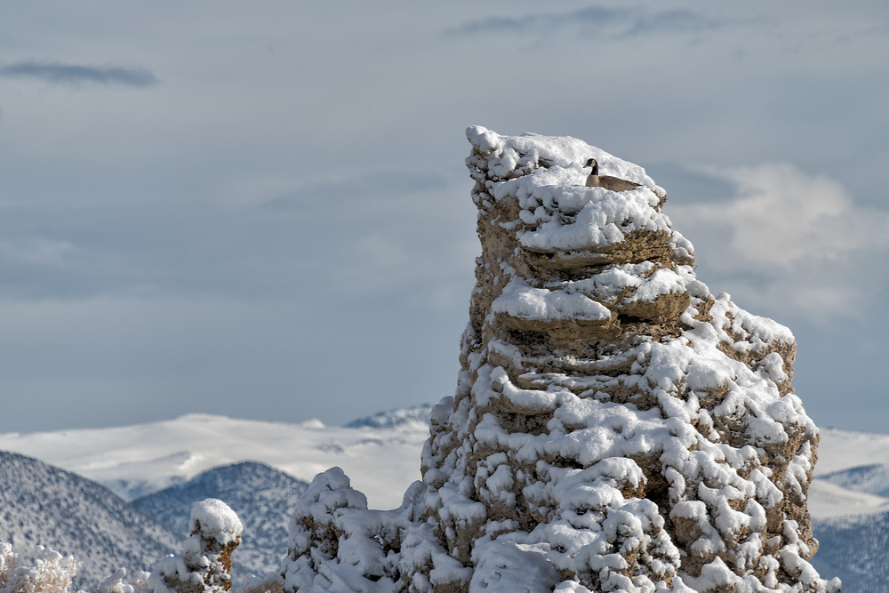 A Canada Goose nests on a tufa tower, a place that gives the waterfowl protection from predation.
