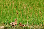 16 MARCH 2009 -- LUANG PRABANG, LAOS: Ducks sit on the edge of rice fields south of Luang Prabang, Laos.  Photo by Jack Kurtz