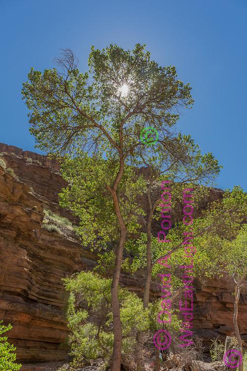 Sun shines through cottonwood tree in Deer Creek Canyon, © David A. Ponton