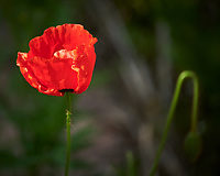 Red Poppy. Image taken with a Nikon D850 camera and 70-300 mm VR lens.