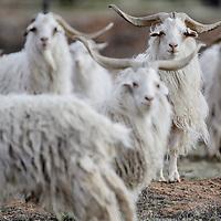 A herd of churro sheep look up from their grazing near Ganado Thursday.