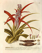 Coloured Copperplate engraving of a flowering Bromelia plant from hortus nitidissimus by Christoph Jakob Trew (Nuremberg 1750-1792)