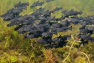 School of Black Bullhead Fry<br /> <br /> Engbretson Underwater Photography