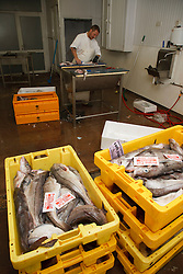 Haddock in boxes with man in background filleting fish