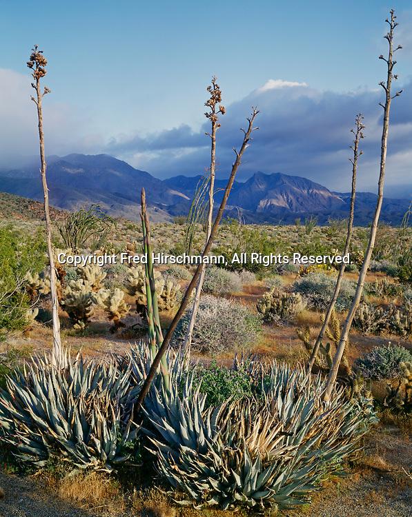 Desert agave, Agavi deserti, intertwined with phacelia, Phacelia sp., Indian Head Peak and the San Ysidro Mountains beyond, Anza-Borrego Desert State Park, California.