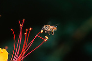Honeybee on Bird of Paradise stamen; Sonoran Desert, Arizona