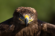 Portrait of a Steppe Eagle at the Center for Birds of Prey November 15, 2015 in Awendaw, SC.