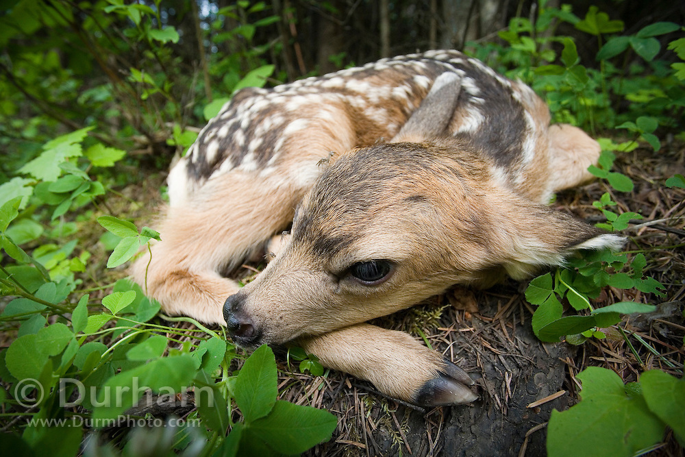 A newborn mule deer fawn (Odocoileus hemionus) hides in the forest, waiting for the return of its mother. Siuslaw National Forest, Oregon.