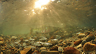 Chum Salmon (with Dolly Varden in foreground)<br /> <br /> Paul Vecsei/Engbretson Underwater Photography