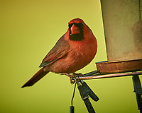 Northern Cardinal. Image taken with a Nikon D5 camera and 600 mm f/4 VR lens (ISO 1600, 600 mm, f/5.6, 1/1250 sec).