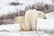 01874-109.06 Polar Bears (Ursus maritimus) female & 2 cubs near Hudson Bay, Churchill  MB, Canada