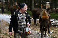 Artur Furdyna feeding apples to wild European bison, Bison bonasus, Drawsko Military area, Western Pomerania, Poland